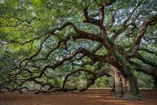 Large Southern Live Oak (Querc...
