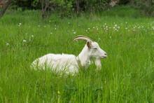 White Goat Lying On The Grass