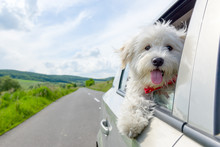 Bichon Frise Looking Out Of Car Window