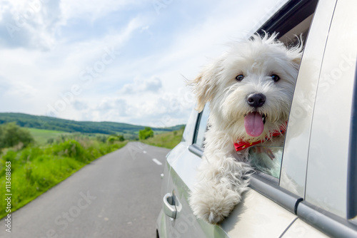 Bichon Frise Looking out of car window Canvas-taulu