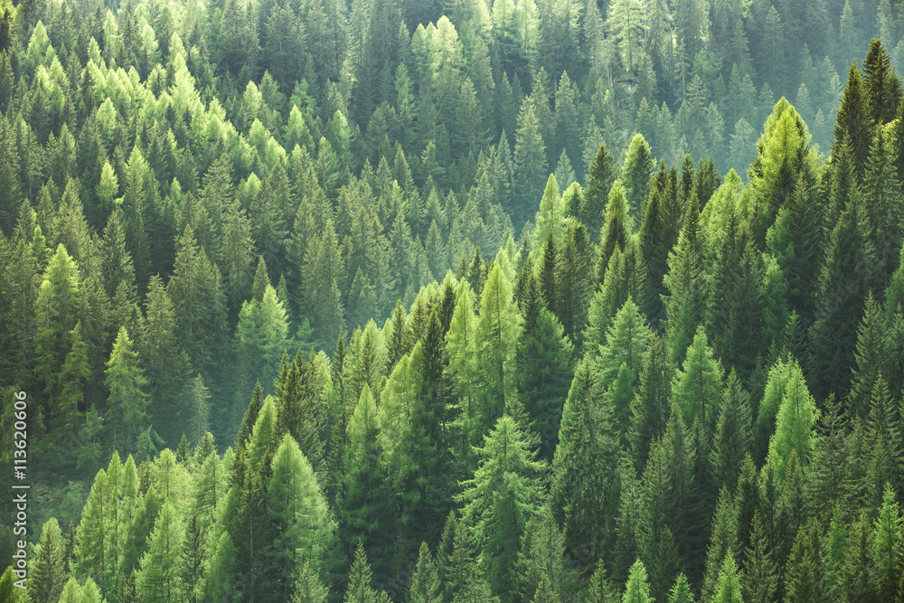 Fototapeta Healthy green trees in a forest of old spruce, fir and pine