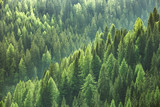 Fototapeta Las - Healthy green trees in a forest of old spruce, fir and pine