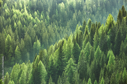 Poster Bossen Healthy green trees in a forest of old spruce, fir and pine