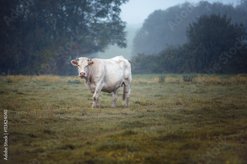 Photo Stands Cow Charolais cattle on the Pasture in Brittany France