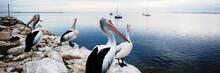 Pelicans Panorama, Kangaroo Island, Australia