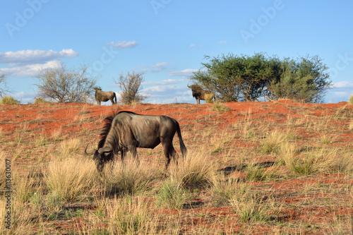 fototapeta na lodówkę African wildlife. Kalahari desert, Namibia