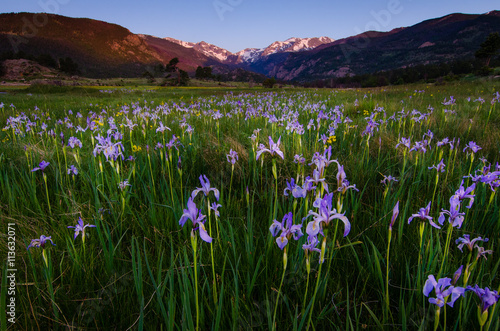 View of purple flowers in meadow with snow covered mountains - 113632071