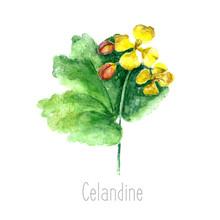 Watercolor Celandine Herb.