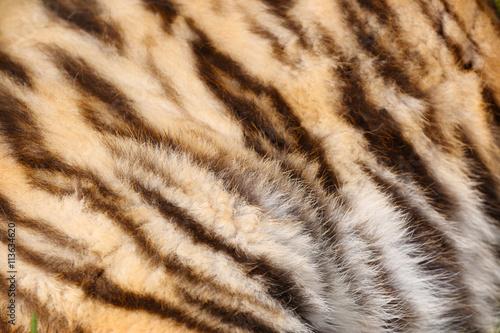 In de dag Tijger Tiger fur texture