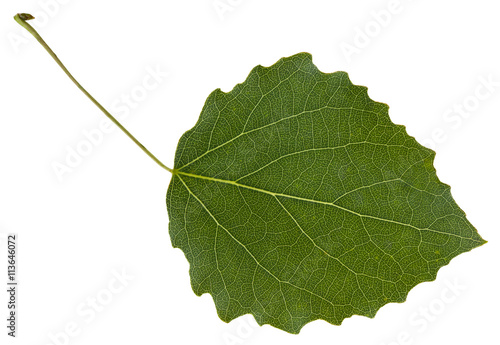 leaf of aspen (Populus tremula) tree isolated