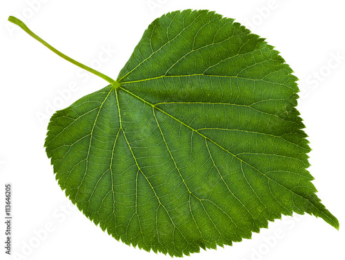 green leaf of Tilia platyphyllos tree isolated