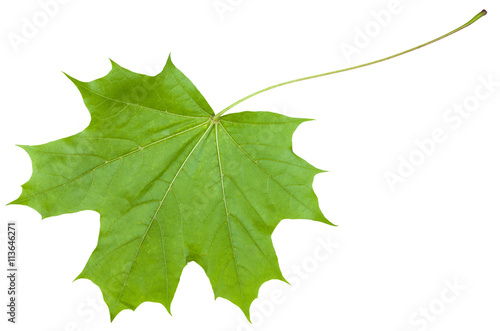 back side leaf of maple tree (Acer platanoides)