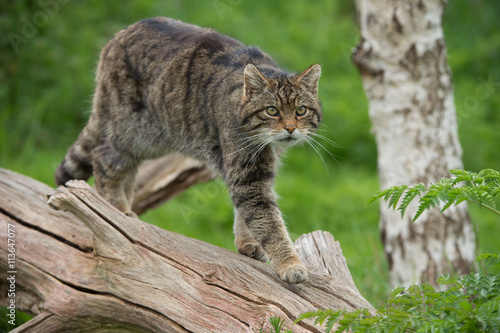 Photo  Scottish Wildcat (Felis Silvestris Grampia)/Scottish Wildcat on large tree trunk