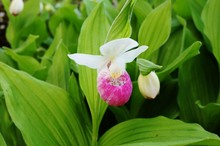 Pink And White Lady Slipper Orchid Flower (Cypripedium Reginae)