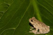 A Gray Treefrog Climbing On A ...