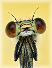 Portrait Of A Damselfly. It Appears As If The Damselfly Is Begging For Something