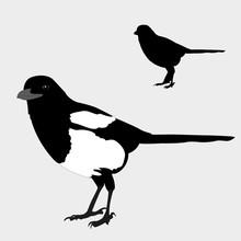 Magpie Realistic Bird Silhouette Black Vector Illustration