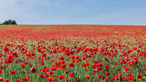 Landscape with red poppy field and blue sky.