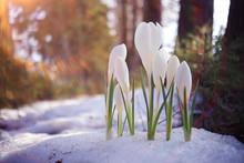 Spring Flowers, White Crocus Snowdrops Sun Rays