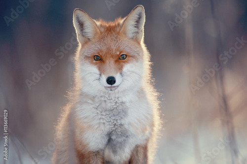 red fox in winter forest Pretty Canvas Print