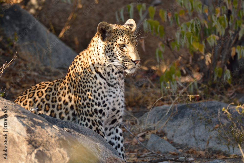 African leopard male pausing for a rest while patrolling his area early in the morning
