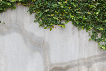 cement wall texture and green leaf Ivy