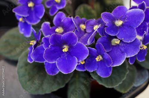 African violet flowers (Saintpaulia)
