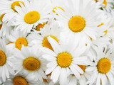 beautiful daisy flowers close up
