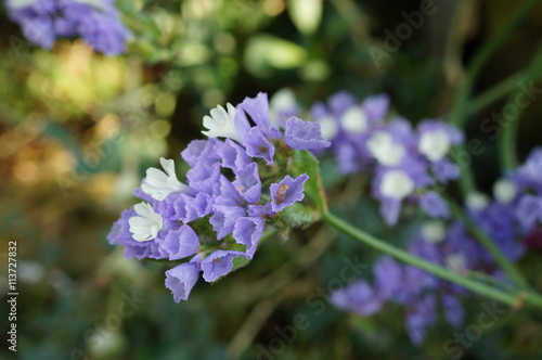 Valokuva  Purple and white statice flowers (limonium sinuatum)