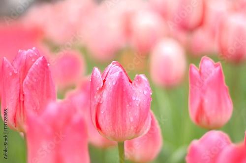 In de dag Candy roze チューリップ畑