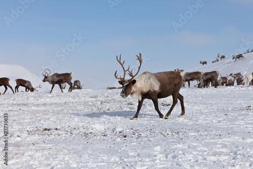 Papiers peints Arctique Group of caribou
