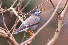 White-Cheeked Starling Or Grey Starling (Sturnus Cineraceus) Bird In Japan