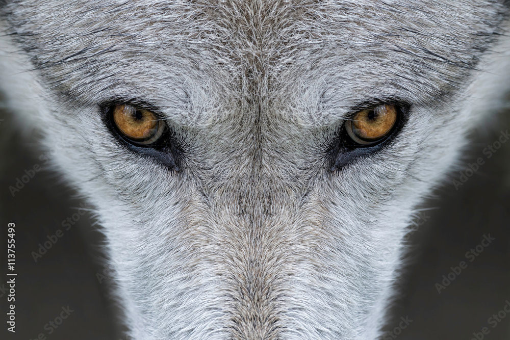 Fototapeta Wild gray wolf eyes in Wyoming