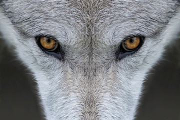 Obraz na Szkle Zwierzęta Wild gray wolf eyes in Wyoming