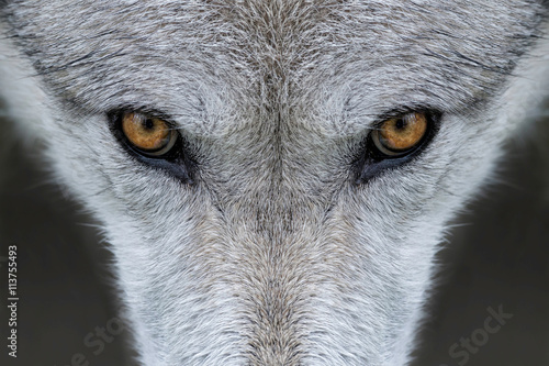 Wild gray wolf eyes in Wyoming
