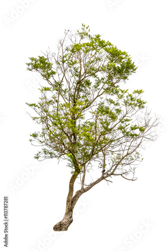 Fotografija  Green Tree isolated on white background