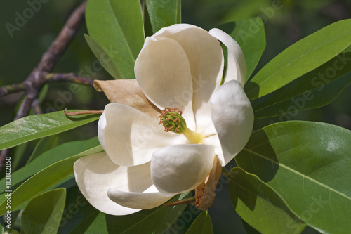 Sweetbay Magnolia Flower Magnolia Virginiana Called Sweetbay