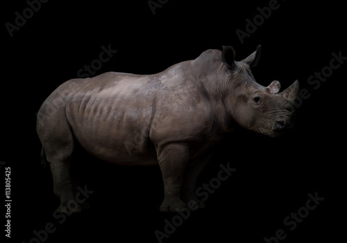 Naklejka premium white rhinoceros in dark background