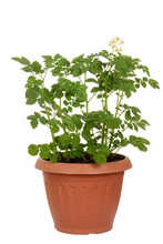 Russet Potato Plant In Pot