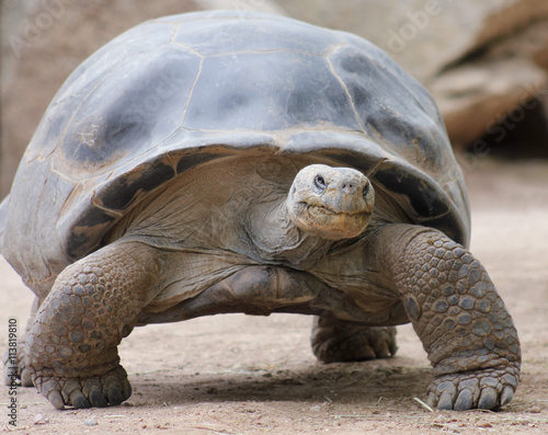 Photo  A Close Up of a Galapagos Tortoise