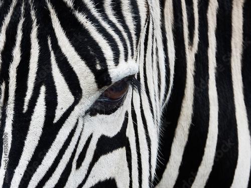 Canvas Prints Zebra Zebra Close up