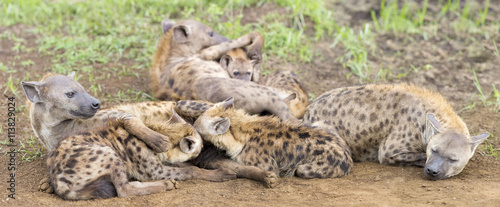In de dag Hyena Hyena cubs feeding on their mother as part of a family