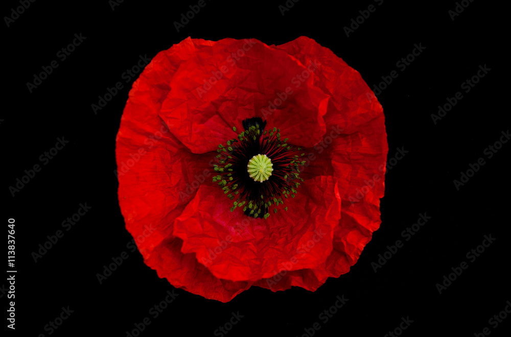 poppy flower on a black background