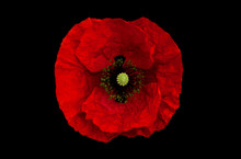 Poppy Flower On A Black Backgr...