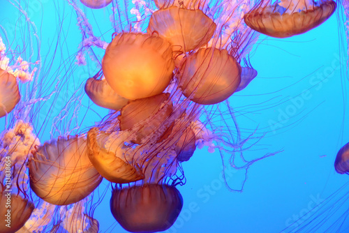 obraz lub plakat Jellyfish floating and swimming in the blue ocean