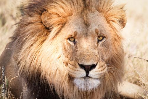 Fotobehang Leeuw African lion in savannah in Zambia