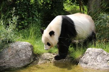 Fototapeta Panda Großer Panda bewegt sich
