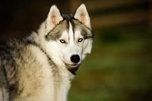 Siberian Husky Portrait Of Dog Looking Back In Field