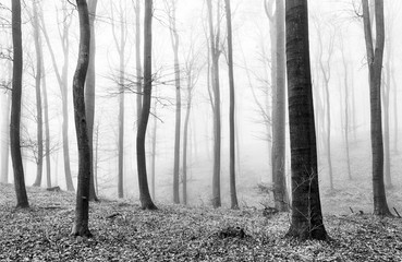 Fototapeta Forest mist in BW