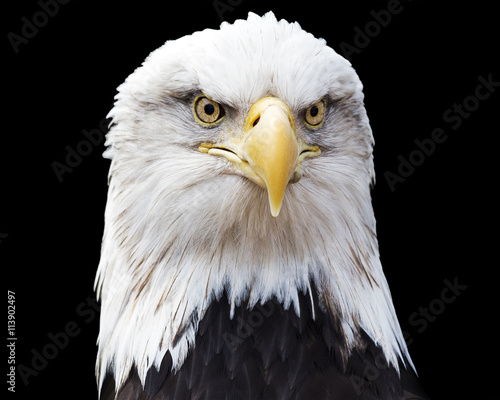 Portrait of a bald eagle looking strait at  the viewer making eye contact isolated on black